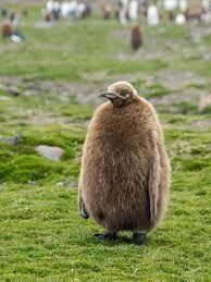 Kuvahaun tulos haulle pingviini poikanen