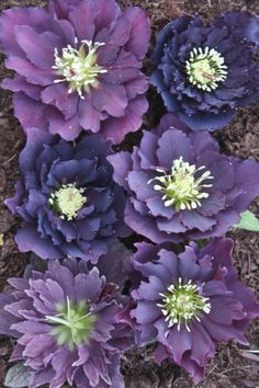 Double Purple Bicolor Hybrid Lenten Rose for sale buy Helleborus x hybridus PDN Double Purple 1 QT