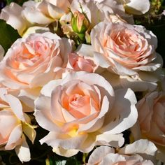 Chandos Beauty (Bush Rose)   Roses   Peter Beales Roses - the World Leaders in Shrub, Climbing, Rambling and Standard Classic Roses