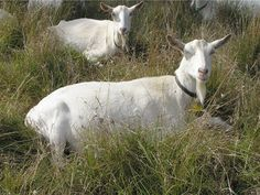 #goatvet likes these comfortable Saanens on a goat cheese farm in Australia