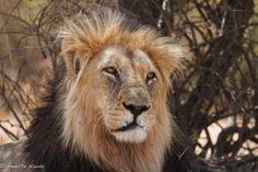Kwang male lion