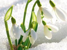 15фотографий, вкоторых пробивается весна Flowers Nature, Spring Flowers, Beautiful Flowers, Seasoning Mixes, Nature Photos, Spring Time, Flower Art, Red Roses, Iphone Wallpaper