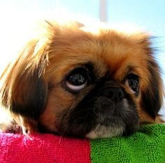 Are you in the mood to see some adorable photos of Pekingese puppies? This is a list of some of the cutest Pekingese puppies ever. Cute Puppies, Cute Dogs, Dogs And Puppies, Doggies, Fu Dog, Dog Cat, Pekingese Puppies, Lion Dog, Puppy Face