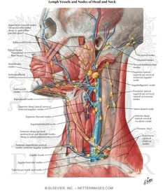 Lymph Vessels and Nodes of Head and Neck Lymphatic Drainage of Mouth and Pharynx
