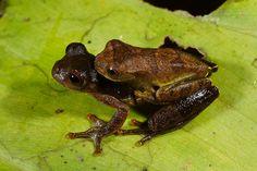 Lesser treefrogs