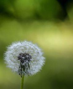 "Photo ""Nature'sBlow"" by Dandelion, My Photos, Nature, Flowers, Plants, Dandelions, Flora, Plant, Royal Icing Flowers"