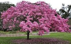 """The brazilian native tree """"Ipê Rosa"""" (Pink Ipê) - Tabebuia avellanedae. It's amazing when in blossom. Pink Flowering Trees, Blooming Trees, Pink Trees, Colorful Trees, Pink Flowers, Belle Plante, Arbour Day, Tree Seeds, Plant Species"""