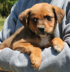Meet Bones 20242 a Petfinder adoptable Shepherd Dog | Prattville, AL | Bones is an 8-week-old male Shepherd/Rottweiler mix. What a precious little face this puppy has!...