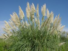 cortaderia selloana - Google Search
