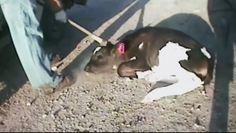 PLEASE SIGN AND SHARE....Calves pounded until they go unconscious! Shut down E6 Dairy Farm in Hart, Texas! | YouSignAnimals.org