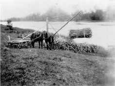 Sugarcane being loaded by winch onto a punt for transportation to the mill at Maryborough, ca. 1933