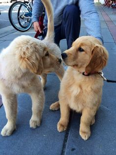 When these puppies got a little bit nervous about sharing their first smooch. | 37 Times Golden Retrievers Proved They're Sunshine Dogs: