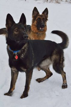Two beautiful German shepherds Sable German Shepherd, German Shepherd Puppies, German Shepherds, Doggies, Pet Dogs, Dogs And Puppies, Dog Cat, Pets, Cool Dog Beds