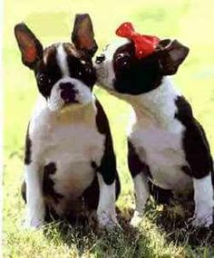 These Boston Terrier's are in LOVE!  Keep your pet smelling fresh: www.BuyPetRefresh.com