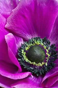 "gyclli: "" anemone flower / by julies517 """