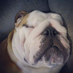 Beauty sleep  #bulldogram#bulldoglife#bulldogs#bulldogsofinstagram#britishbulldog#bulldoglovers#bulldogmoments#bully#bulldog#bulldogstagram#bulldoglove#bulldogingles#bulldoglover#aplacetolovedogs#ilovemybulldog#instapet#instadog#englishbulldog#dog#pet#pets#dogsofinstagram#ilovemydog#instagramdogs#dogstagram#dogoftheday#lovedogs #Padgram