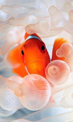Clown fish ocean underwater world Ocean Underwater, Underwater Photos, Cool Pictures, Cool Photos, Ios Wallpapers, Creativity And Innovation, Creative Photos, Ocean Life, Sea Creatures