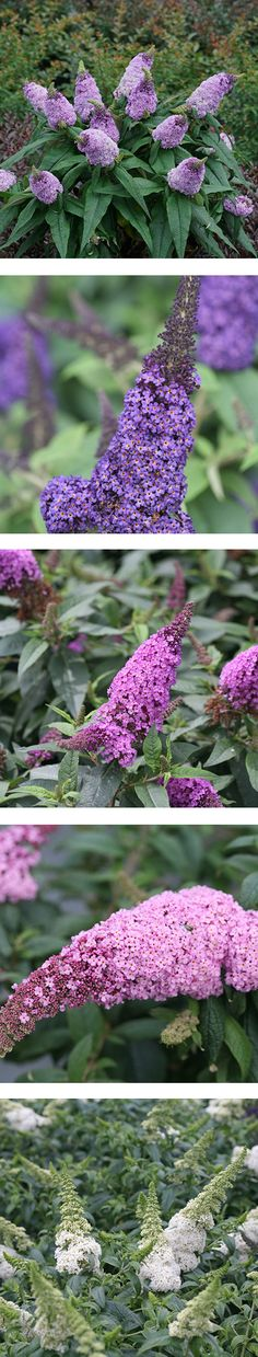 Fat and Sassy The enormous size of the blooms on Pugster buddleias are hard to miss in the garden. Shrubs For Landscaping, Drought Tolerant Landscape, Small Backyard Design, Proven Winners, Water Wise, Flowering Shrubs, Plant Sale, Growing Vegetables, Flower Beds