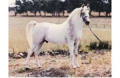 Arabian Horse News_June_2015 by Vink Publishing