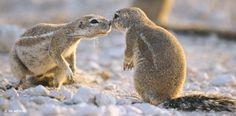Riechkontakt ist ein sozialer Akt bei den struppigen Nagern in der südafrikanischen Kapregion. Während sich die männlichen Borstenhörnchen nach der Paarung absondern, tun sich die Weibchen in Gruppen zusammen und ziehen ihren Nachwuchs gemeinschaftlich auf – Diese Karte hier online kaufen: http://bkurl.de/pkshop-211116 Art.-Nr.: 211116 Mutterwirtschaft | Foto: © Fischer/Premium | Text: Rolf Bökemeier