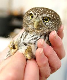 Pygmy owl at Owl Rehabilitation Society in Delta, B.C.