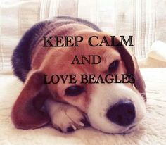 Keep calm & love Beagles!