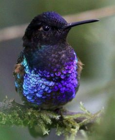Velvet-purple Coronet (Boissonneaua jardini) western slope of the Andes in northern Ecuador and Colombia Pretty Birds, Beautiful Birds, Animals Beautiful, Cute Animals, Stunningly Beautiful, All Birds, Little Birds, Love Birds, Vogel Gif