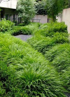 Hakonechloa Macra, Hakonegräs. Bambulikt i bladen. 40-50 cm hög. Fuktigt. Stora vällande kuddar. Passar bra till avslut.