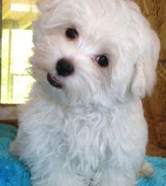Cute Maltese Dogs