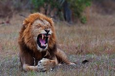 Stubbed my toe! Click on link for more big cat photos. Photo by Wim Vorster Photography