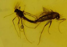 Ambra 893 Diptera Nematocera: Chironomidae accoppiamento diptera in coupling