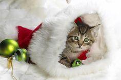 kitten. Cute Kittens, Kittens And Puppies, Cats And Kittens, Kitty Cats, Fluffy Kittens, Christmas Kitten, Christmas Animals, Christmas Humor, Merry Christmas