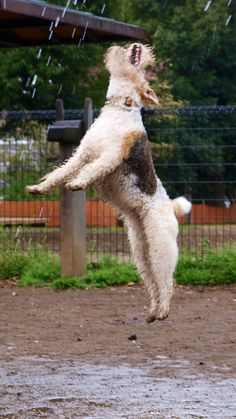 Jumping for joy-typical fox terrier conduct,really.