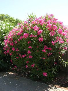 nerium oleander - Google Search Nerium, Elephant Ear Plant, Rose Bay, Urban Park, Types Of Soil, Landscaping Plants, Fall Flowers, Better Homes And Gardens, Urban Landscape