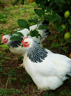 The Sussex is a dual-purpose, heritage chicken breed. Hens are excellent producers of large, cream-colored or light-brown eggs that they lay through the coldest winter months. In addition, they are meaty chickens that fatten easily, and their tender, succulent flesh is second to none.