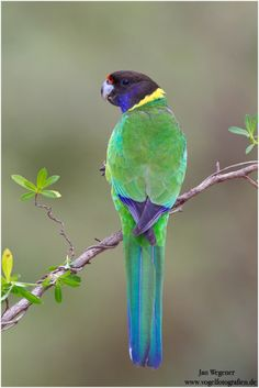 The Australian Ringneck - Barnardius zonarius, is a parrot found in the south western forests of coastal and subcoastal Western Australia. Photo Jan Wegener.
