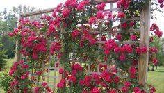 plantas de rosales