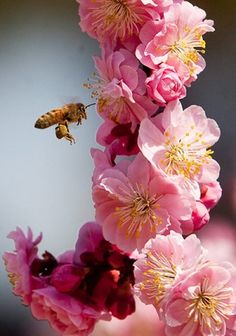 A blossom and a bee, First Day of Spring, March Pretty In Pink, Pink Flowers, Beautiful Flowers, Colorful Roses, Simply Beautiful, Dame Nature, Save The Bees, Bees Knees, Fruit Trees