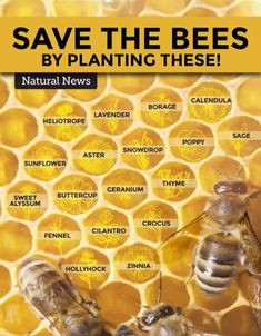 Save the bees by planting these at your backyard. Protecting the honey bee is vital for our planet. Spread the message. Bee Facts, Bee Friendly Plants, Bee Friendly Flowers, Eco Friendly, Backyard Beekeeping, Natural News, Save The Bees, Geraniums, Garden Projects