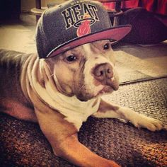 This dog is so awesome. Dress your dog, be a miami heat fan! Happy Paw, Heat Fan, Pitt Bulls, Different Sports, Miami Heat, Cute Creatures, Dog Life, My Best Friend, Fur Babies