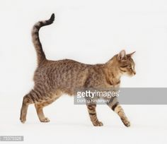 Grey-brown tabby Domestic Cat walking, with its tail held aloft, side view