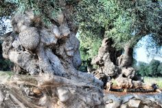 Ancient olive trees...Ostuni countryside. Puglia