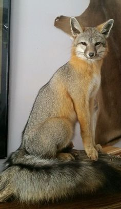US $202.50 New in Sporting Goods, Hunting, Taxidermy