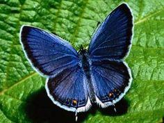 Blauwe vlinder met vleugels wijd open