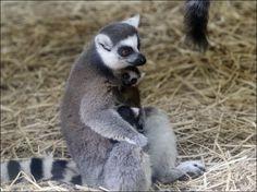 Three ring-tailed lemurs born at Toledo Zoo.