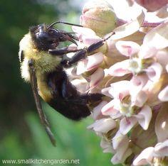 Milkweed flowers and pollinator