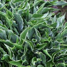 """Praying Hands – was the 2011 Hosta of the Year and is an unusual hosta with its upright narrow leaves. Each green leaf is rolled and folded into a tube shape, displaying the prominent veins on the shiny back side of the leaf. A thin white margin borders the outside edge of the leaf. This small to medium sized hosta grows 14"""" tall by 12-16"""" wide. The pale lavender flowers bloom in late summer on 18"""" scapes. Z 4-7"""