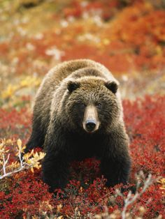 Grizzly Bear Standing Amongst Alpine Blueberries, Denali National Park, Alaska, USA Photographic Print by Hugh Rose at AllPosters.com