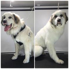 Labrador Retriever, Bear, Smile, Dogs, Instagram Posts, Animals, Labrador Retrievers, Animales, Animaux