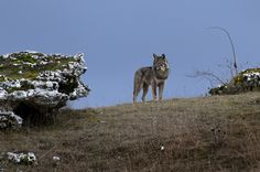 Italian wolf in the Abruzzo National Park.